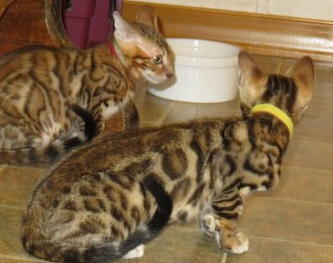 bengal kittens like to play with children available for sale