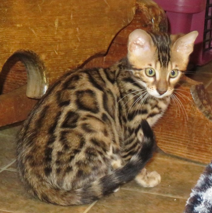 beautiful rosettes on bengal kittens  for sale