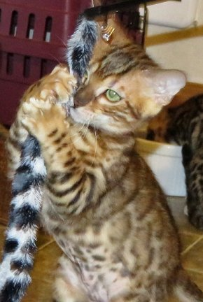 intelligent, confident active playful bengal kittens available for sale