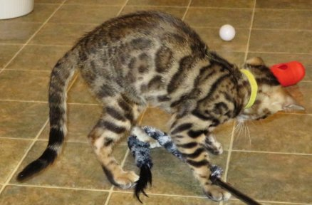 active playful healthy bengal kittens available for sale