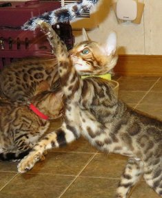 you will enjoy playing with our bengaal kittens