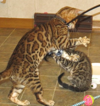 active playful bengal kittens available for sale