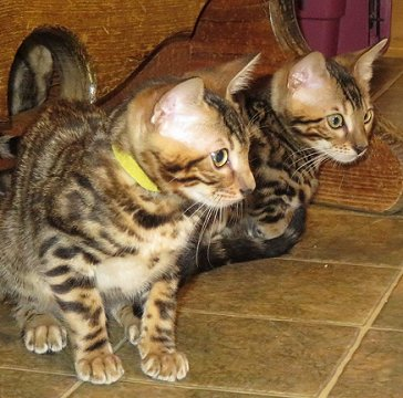 baby bengal kittens available for sale