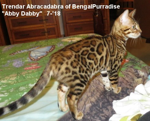 Breeding Bengal Cats for Bengal kittens