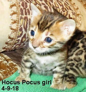 keeper quality female bengal kitten with huge rosettes