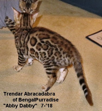 Female bengal kittens for breeding