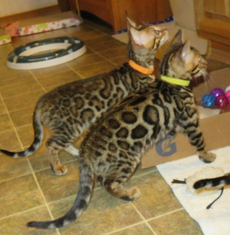 2 keeper quality Bengal Kittens