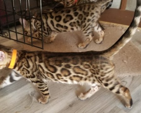 female bengal cats for sale