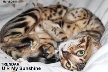 beautiful exotic rosetted bengal cats
