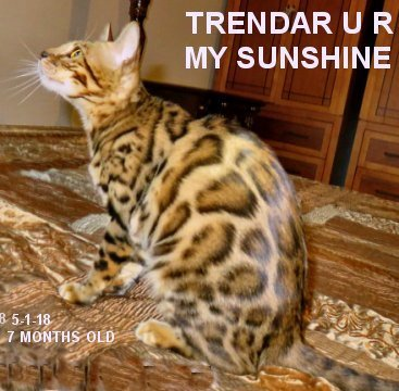 Sweet gentle beautiful bengal cats