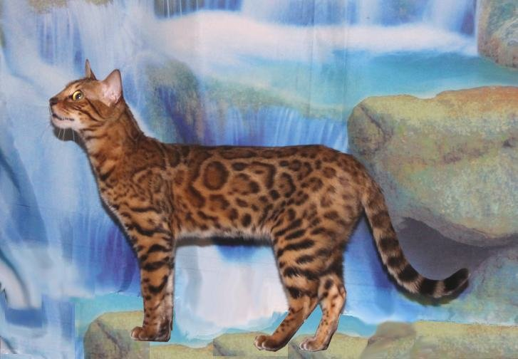beautiful female bengal cats making bengal kittens for sale