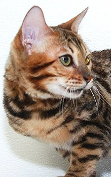 Sweet Bengal cat female with good head type