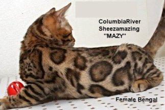 Bengal kittens available from rosetted female Mzy