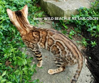 generations of beautiful female bengal cats making bengal kittens for sale
