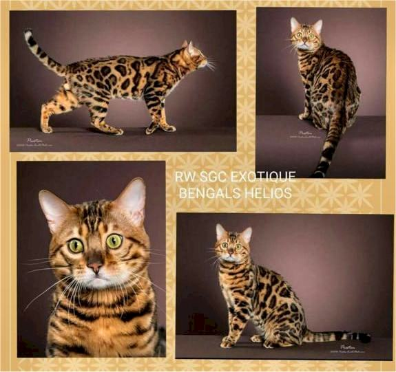 Purradise Bengal cats in WV