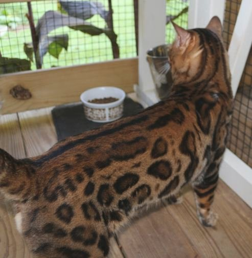 Purradise Bengal kittens for sale in WV