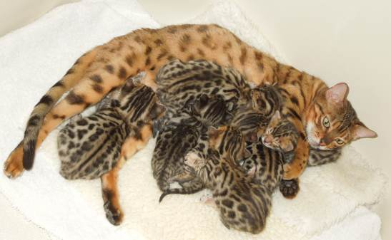 Price for Exotic Bengal Kittens For Sale what you can expect