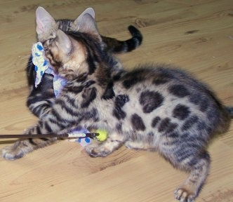 prices for bengal kittens at Purradise