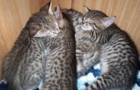 common prices for bengal kittens